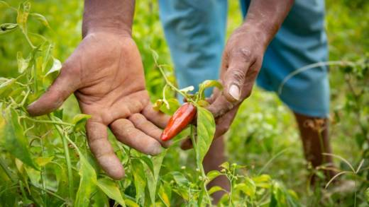 Hago's hand hold a red chilli pepper up in a green field.