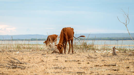 Villagers allow their cattle to graze on the riverbanks of the receding Lake Kariba in Zimbabwe. Families and their livestock will not have enough food to eat in the coming months because of a crippling drought in the country.