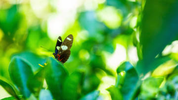 A black, white and red butterfly admidst green leaves
