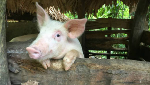 CAFOD partners gave a pig to a family in The Philippines